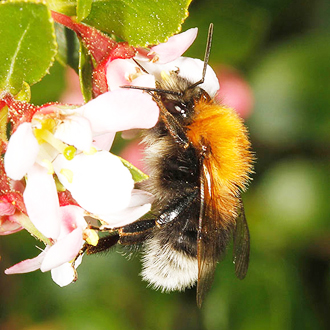 The new kid on the block, Bombus hypnorum (Tree Bumblebee), which has colonised Britain rapidly