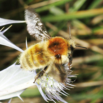 Male Bombus muscorum: Bumblebees are large enough, and fly between blooms enough, to make photographing them on the move relatively easy