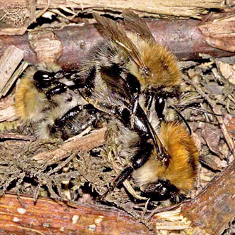 Three Bombus pascuorum (Common Carder Bees) mating