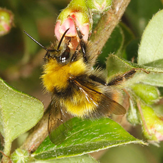 A freshly-emerged male Bombus pratorum (Early Bumblebee) taking nectar from a Cotoneaster, another good garden plant for bees