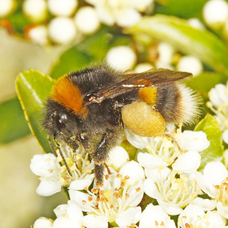 Bombus terrestris (Buff-tailed Bumblebee) with a heavy pollen load on Pyracantha, a superb plant for bees of all types