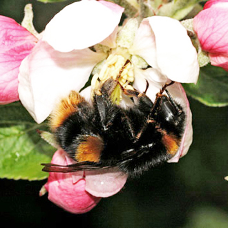 Bombus terrestris (Buff-tailed Bumblebee) on apple blossom