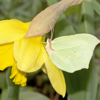 Female Brimstone (Gonepteryx rhamni) on cultivated Daffodil