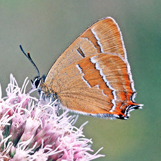 Brown Hairstreak (Thecla betulae) relies on young Blackthorn
