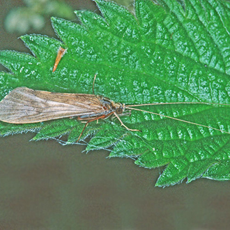 Caddis Flies are common in fresh water