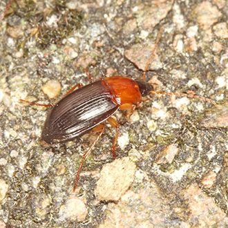 Ground beetle Calathus melanocephalus