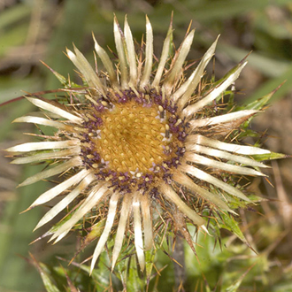 Carline Thistles (Carlina vulgaris) do not grow very tall