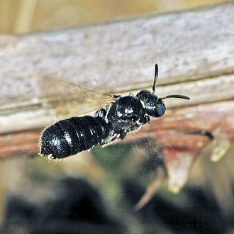 A fluky shot of a Blue Carpenter Bee (Ceratina cyanea), a tiny species nesting in stems