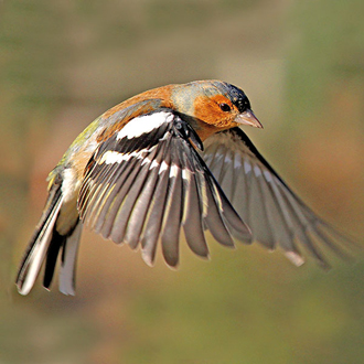 Chaffinches (Fringilla coelebs) are among the most numerous birds in Britain