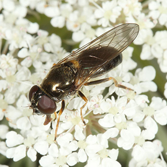 Female Cheilosia scutellata
