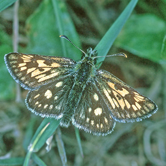 The Chequered Skipper (Carterocephalus palaemon) became extinct in England in 1976