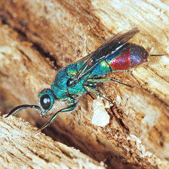 The jewel wasp Chrysis fulgida is even scarcer than its host, Symmorphus crassicornis. This is a male