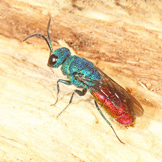 The parasitic ruby-tail wasp Chrysis terminata uses Ancistrocerus nigricornis as a host