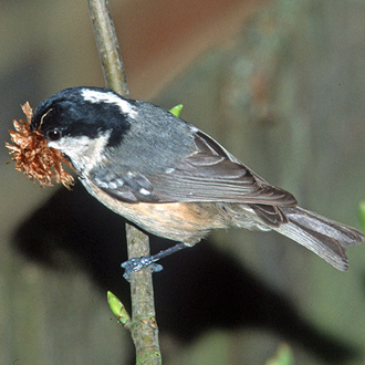 Coal Tit (Parus ater) with nesting material