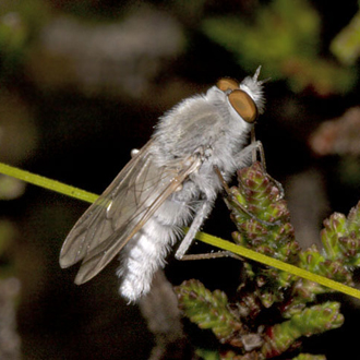 Male Coastal Silver-stiletto Fly (Acrosathe annulata)