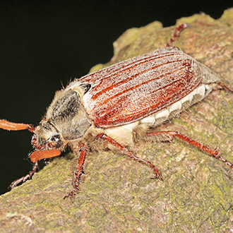Cockchafer (Melolontha melolontha) resting on a fence post