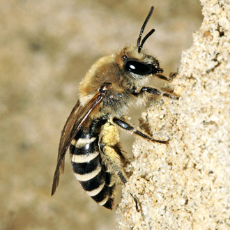 Colletes hederae is a late species relying on Ivy pollen