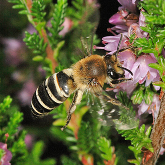 Colletes succinctus takes pollen only from Heather and since the flowers are small there is a lot of flitting to and fro
