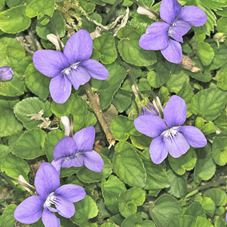 Common Dog Violet (Viola riviniana), foodplant of various butterfly caterpillars