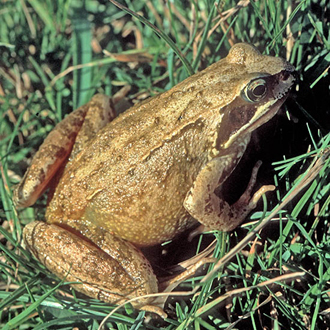 Common Frogs (Rana temporaria) have a stable population