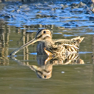 Common Snipe (Gallinago gallinago) still winter in good numbers