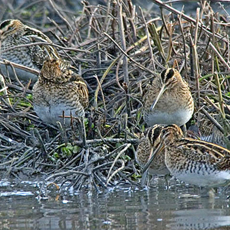 Common Snipe can gather in sizeable groups
