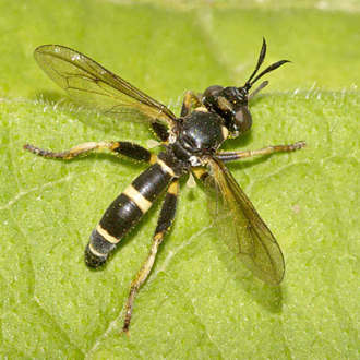 Female Conops ceriaeformis, another fly that parasitises Hymenoptera