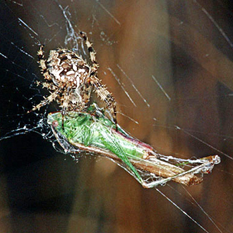 Cross Spider (Araneus diadematus) with Long-winged Conehead