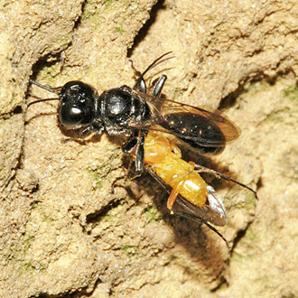Crossocerus megacephalus is one of the larger members of the genus