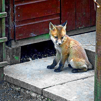 Cub taking time out by a garden shed