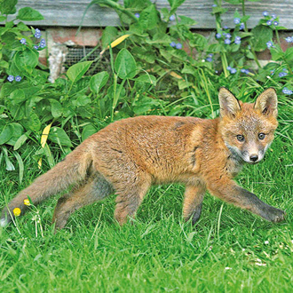 Cubs are lively, and for a vixen a garden can provide useful restrictions on them