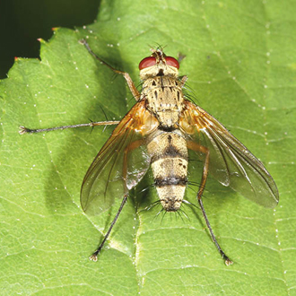 Dexiosoma caninum is a relatively scarce tachinid fly