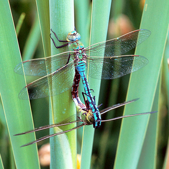 Emperor dragonflies (Anax imperator) mating in the copulation wheel