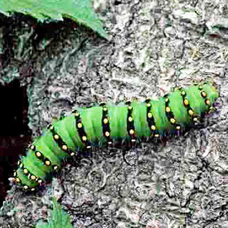 Emperor Moth (Saturnia pavonia) caterpillars feed mainly on Heather