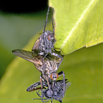 Empid flies (Empis tessellata) mating and eating