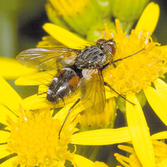 A fourth tachinid fly, Eriothrix rufomaculata