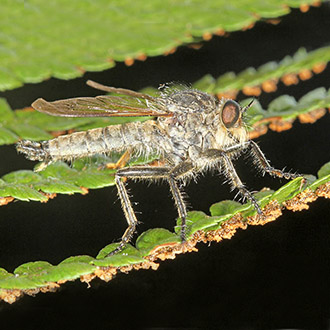 Male Golden-tabbed Robberfly (Eutolmus rufibarbis)