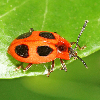False Ladybird (Endomychus coccineus) is found particularly on beech and birch wood