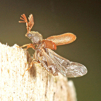 Fan-bearing Wood-borer (Ptilinus pectinicornis) attacks various hardwoods