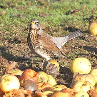 Apples are popular fare for the Fieldfare (Turdus pilaris), another wintering thrush