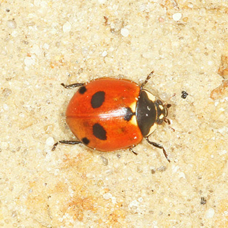 The Five-spot-Ladybird (Coccinella 5-punctata) is associated with river shingle and very rare