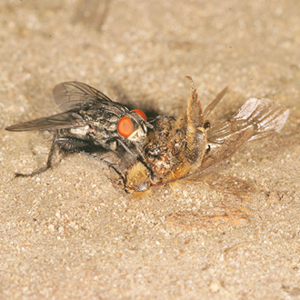 Flesh-fly (Sarcophaga carnaria) scavenging a bee