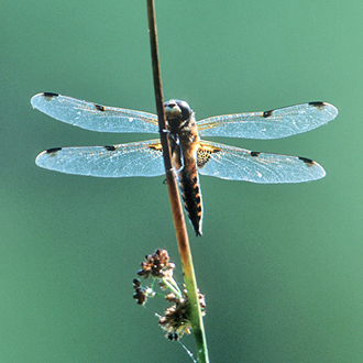 Four-spotted Chaser male (Libellula quadrimaculata) in a typical perching position
