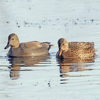Gadwall (Anas strepera) pair feeding together in shallow water