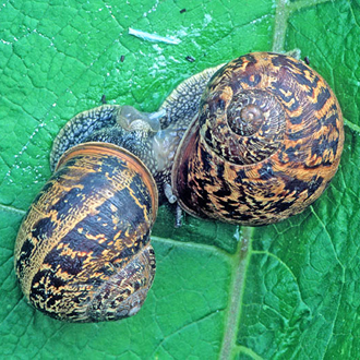 Garden Snails (Helix aspersa) in the throes of mating