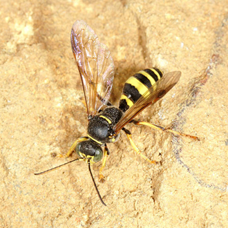 The elusive Gorytes laticinctus is one of the most impressive-looking wasps in Britain