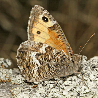 Grayling (Hipparchia semele) used to be a common butterfly on heathland