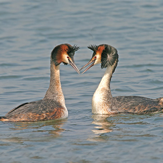 Great Crested Grebes (Podiceps cristatus) in all their courtship glory