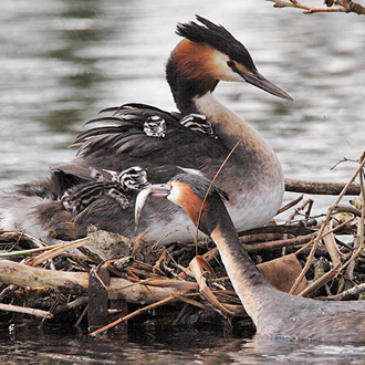 Male Great Crested Grebe feeding a chick