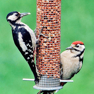 Female Great Spotted Woodpecker (Dendrocopus major) feeding young